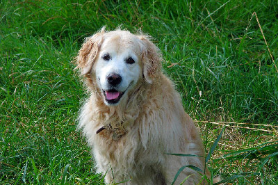 Portrait of a white dog golden retriever sitted on long grass