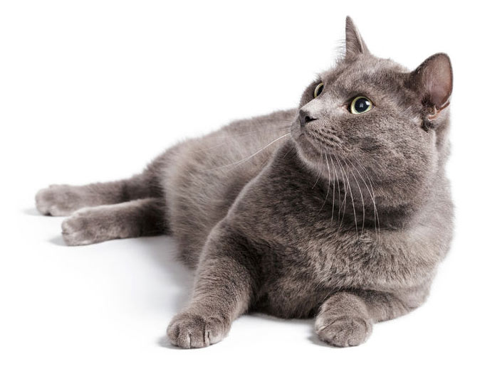 british shorthair cat with green eyes